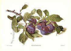 Vintage Prints of Fruit by Reifel Vintage Botanical Prints, Botanical Drawings, Botanical Art, Vintage Prints, Fruit Illustration, Food Illustrations, Botanical Illustration, Fruit Picture, Fruit Painting
