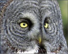 WHADDA NIGHT!!!  --Source: Flickr / jackie_sills  #great grey owl