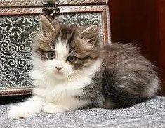ragamuffin kitten breeders Ragamuffin Kittens, Cats, Animals, Gatos, Animales, Animaux, Animal, Cat, Animais