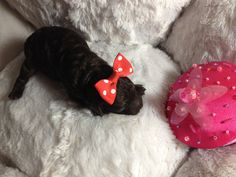 martini; caniche femelle tiny-toy female poodle