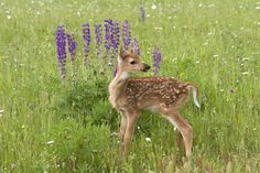 White tailed fawn in the spring