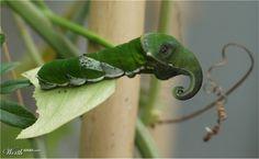 Elepillar by Nana