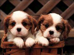 Resim Bul   Köpek   Süs Köpek Cinsleri