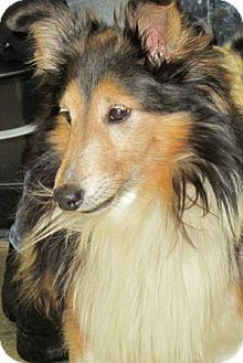 Dayton Oh Sheltie Shetland Sheepdog Meet Prince A Dog For Adoption Http Www Adoptapet Com Pet 12526507 Dayton O Shetland Sheepdog Dog Adoption Sheltie