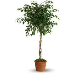 The gorgeous and graceful ficus will more than fit the bill! Easy to take care of, it's a great way to bring the natural beauty of the outside inside.