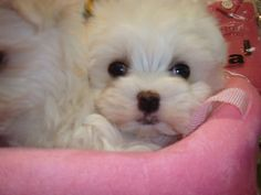 Teacup Maltese Puppy Maltese puppies