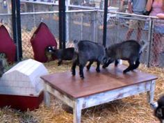 "These two pygmy goats were playing ""King Of The Table"" until one of them got other other ideas..."