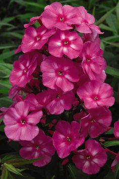 """Bubble Gum Phlox Height:18-22""""Spread:18-24""""Shape:Foliage:Fall Foliage:Exposure:Full SunZone:4-8  Bubblegum pink blossoms are accentuated by dark pink eyes. The most mildew resistant phlox to date. Bubblegum Pink will bring months of tantalizing color and delicious fragrance to the summer garden. Attracts butterflies and hummingbirds.  And BUNNIES!  The second day after I planted this, I found a rabbit eating it! I placed some objects around it and sprayed Defence - we'll…"""