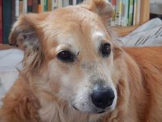 This is Lisa  an 8 yr old Golden mix. Her owner has advanced Alzheimer's. She is spayed, current on vaccinations, potty trained,  rides well in a car, has excellent leash manners, good with dog savvy cats, prefers to be the only dog. Due to her owners health issues she was in rough shape & is heartworm positive. Her medical issues are being addressed. Gold Ribbon Rescue, TX. http://www.grr-tx.com/dogs/lisa
