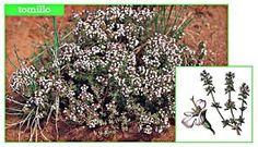 Resultado de imagen para arbustos tomillo