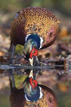 Reflection - Mark Hancox Bird Photography