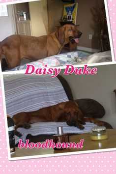 Sweet Daisy Duke has had a rough life. She is about 4 years of age and is learning to trust and be a dog again. She was used for breeding and she was also abused. Shelter life was making everything worse for this poor baby. She was pulled into...