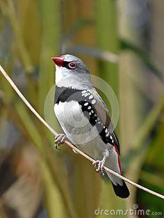Sold today @dreamstime: #Diamond #firetail (Stagonopleura guttata) #Bird #animal http://www.dreamstime.com/stock-photo-diamond-firetail-stagonopleura-guttata-resting-branch-its-habitat-image53038667