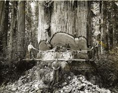 This series of photos by Swedish photographer A.W. Ericsonfrom the 1915-era capture lumberjacks working among the redwoods in Humboldt County, California, when tree logging was at its peak. When gold was discovered in north-western California in 1850, thousands crowded the remote redwood region in search of riches and new lives. Failing in efforts to strike it rich in gold, these men turned toward harvesting the giant trees for booming development in San Francisco and other places on the…