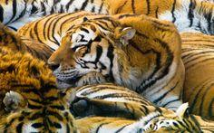 Tiger gathering