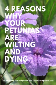 4 Reasons Why Your Petunias Are Wilting and Dying Are your beautiful petunias suddenly wilting? These are 4 possible reasons why your petunias might be dying, as well as what you need to do to stop it. Container Flowers, Container Plants, Container Gardening, Gardening Tips, Succulent Containers, Vegetable Gardening, Succulents, Outdoor Flowers, Outdoor Plants