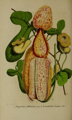Raffles' Pitcher Plant - Nepenthes rafflesiana - a scrambling vine to 15 meters tall - large pitchers reach 20 cm in height, in the giant form pitchers can grow to 35 cm tall and 15 cm wide - Native to Malaysia, Sumatra, Borneo, and Singapore - circa 1855