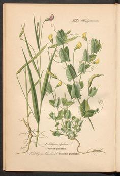 Prof. Dr. Thomé's Flora von Deutschland, Österreich und der Schweiz in Wort und Bild. Flat pea. Rar 3635