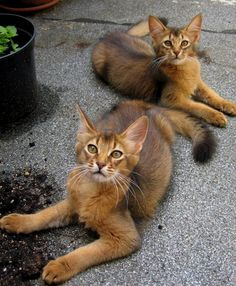 Long-haired abyssinians - Somali cats