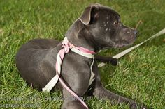 NY Handsome, handsome, handsome! Smokey is a grey American Staffordshire Terrier 9 month old puppy with full puppy energy.  He would enjoy an an active household where he will get lots of exercise and lots of stimulation.  He is very sweet and friendly...