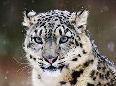 Snow leopards are beautiful.