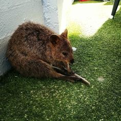 """I asked Quincy the Quokka what he was doing at the outdoor bar we were having a few quiet drinks at with The Hempel's on Rotto. He replied.... """"I am just waiting for a mate."""" #rottnest #rottnestisland #rotto #quokka #sofriendly #scratchunderthechin #lovable #drinkingourwater #happytt #HappyTTWorldCollection #goodtimes #westernaustralia #ferry #cottotorotto #hempled #waitingforamate #lovethislife #loveTarshyT by happytremayne http://ift.tt/1L5GqLp"""