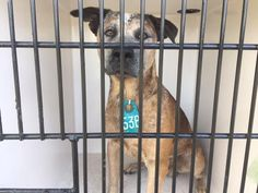 11/28/16- SUPER URGENT - HOUSTON FACILITY IS OVER CAPACITY -This DOG - ID#A473051  I am a male, brown and white Catahoula Leopard Hound mix.  The shelter staff think I am about 3 years old.  I have been at the shelter since Nov 28, 2016.  This information was refreshed 48 minutes ago and may not represent all of the animals at the Harris County Public Health and Environmental Services.