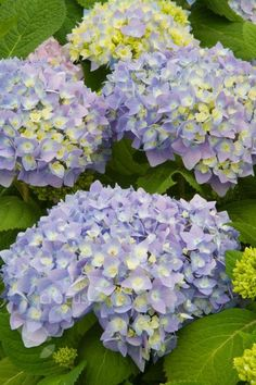 Hydrangea Hydrangea macrophylla Endless Summer BLUE= Bailmer Planted October 2012 on flower bed in front of house.