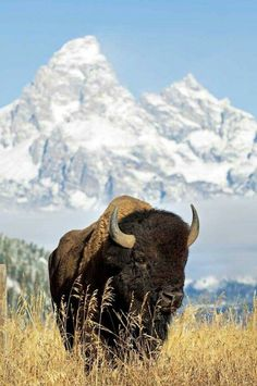 Bison (aka Buffalo or Tatanka) in front of the Tetons. The Grand Tetons Mountains are in Wyoming, USA. I want to see wild Bison in my travels! Beautiful Creatures, Animals Beautiful, Animals And Pets, Cute Animals, Wild Animals, Baby Animals, American Bison, American Animals, American Food