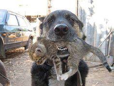 Este cão chamado Hans descobriu que a gata tinha deixado seus filhotes fora de casa, na neve lamacenta. Para salvá-los, Hans os levou em sua boca e deixou-os em sua tigela pensando que assim se aqueceriam. Quando o dono encontrou os animais , limpou cada um e devolveu para a gata. Hans passou a verificar todos os dias se ela estava cuidando bem dos pequenos e chegava a rosnar quando a gata nao os deixava mamar. Hoje, os filhotinhos se sentem bem a vontade e nao temem serem transportados na…