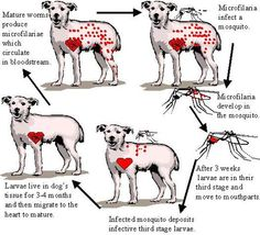 Heartworm Cycle in Dogs