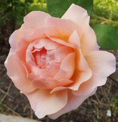 Tamora ~ English Rose