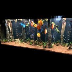 Diskus Aquarium, Fish Aquarium Decorations, Aquarium Design, Saltwater Aquarium, Unique Fish Tanks, Cool Fish Tanks, Tropical Freshwater Fish, Freshwater Aquarium, Aquarium Architecture