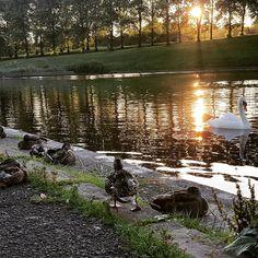Quacks #edinburgh #inverleith #ducks #swan #sunset #stockbridge #scotland