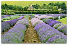 Cotswold Lavender - Stressy Mummy
