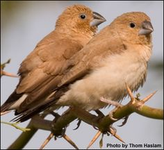 African Silverbill Finches