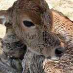 Newborn calf dumped on roadside still wet with afterbirth