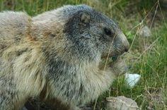 Groundhogs can ruin your yard.