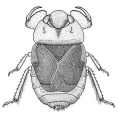 Illustration of the Water bug (Nepomorpha) Asthenocoris luzonensis. The Water