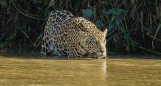 La travesía está por terminar, disfruta de las fotos del jaguar que nuestro…