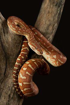 Bredli carpet python- rust brown coloration