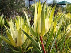 Leucadendron 'Yellow Countess' - Google Search