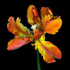 Parrot Tulip - Rococo | David Leaser Fine Art