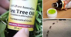 Tea tree (known as Melaleuca), is famous for its powerful antiseptic properties and ability to treat wounds. It is used for extraction of the tea tree oil (TTO), which has been widely used throughout Australia for at least the past 100 years. Tea Tree Oil Uses, Tea Tree Oil For Acne, Tee Tree Oil, Australian Tea Tree Oil, Healthy Holistic Living, Healthy Living, Oil Benefits, Mango Benefits, Ginger Benefits