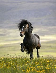 Little Wild Filly in Springtime - Iceland