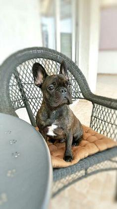 My french bulldog Cezar