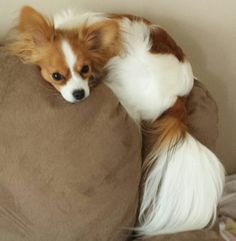 This is my Zoey!!! She has a rough life!!! LOL! I LOVE Papillon's!!! She is my first and I will only own Pap's now!! She is a doll!
