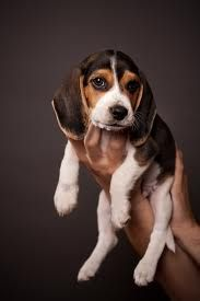 LOVE baby beagles!!