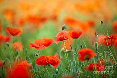 Resultado de imagem para poppies flowers