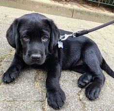 Black Puppy, Black Lab Puppies, Cute Dogs And Puppies, Love Dogs, Cute Labrador Puppies, Black Labs Dogs, Perro Labrador Retriever, Retriever Dog, Bull Terriers